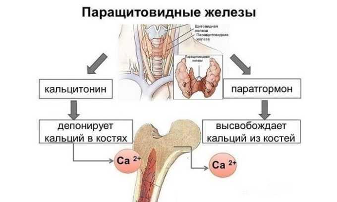 Паращитовидные железы - органы внутренней секреции, располагающиеся попарно у верхнего и нижнего полюса щитовидки