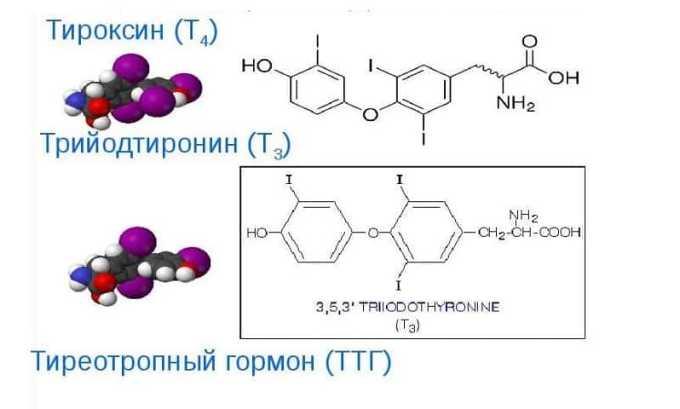 Тиреотропин регулирует работу щитовидной железы: под его влиянием она вырабатывает гормоны тироксин (Т4) и трийодтиронин (Т3)