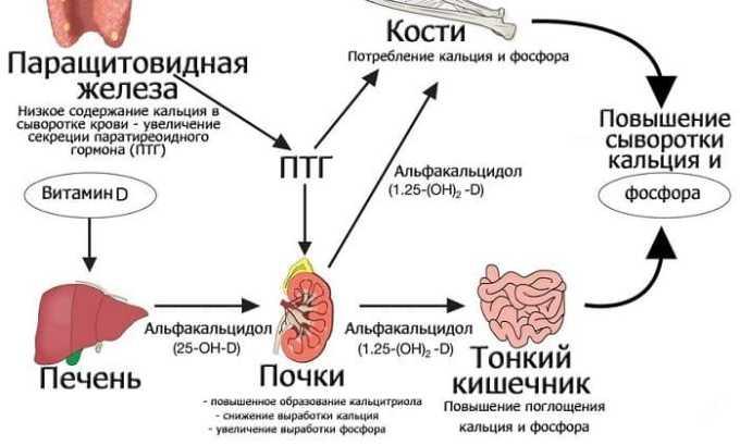 Структурные элементы щитовидной железы отвечают за контроль обмена кальция и фосфора