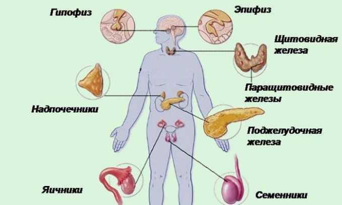 Паращитовидные железы играют важную роль в регуляции эндокринной системы