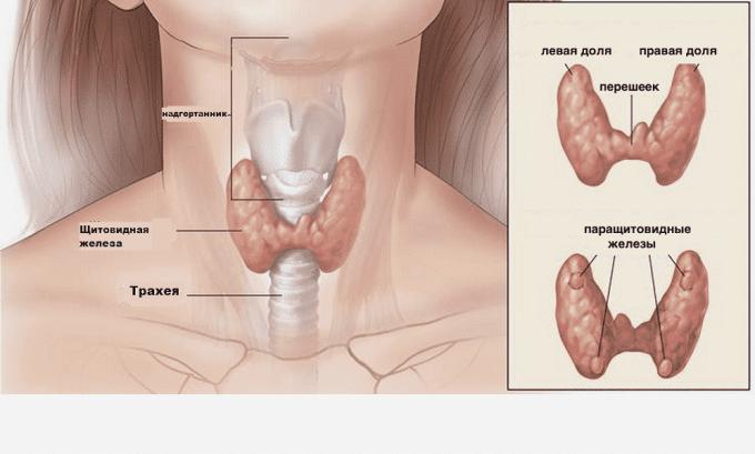 В норме расположение доли щитовидной железы должны быть симметричными