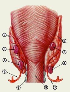 Строение щитовидной и паращитовидных желез
