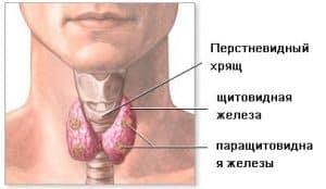 Строение щитовидки