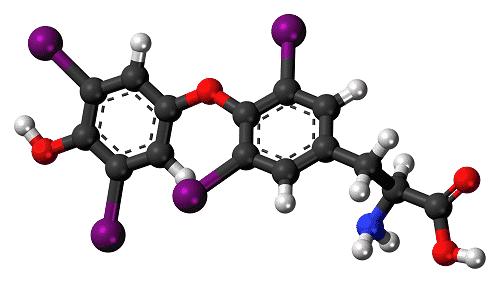 Свободный тироксин отвечает за расщепление жиров, регулирует работу сердца и мозга, а также влияет на состояние кожи и волос
