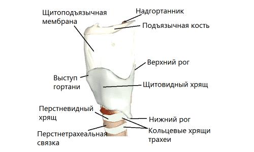 Анатомия щитовидного хряща включает следующие компоненты: нижний и верхний рог, пластинка, а также щитовидный бугорок и суставные поверхности