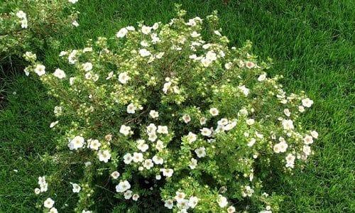 Применение растительных препаратов повышает эффективность лечения, оказывает благотворное воздействие на весь организм. Для щитовидки будет полезна настойка из лапчатки