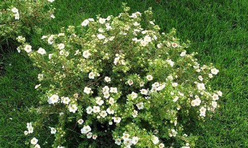 Лапчатка белая — травянистое многолетнее растение, которое ценят за многочисленные полезные свойства. Трава способна оказывать на организм противомикробное, антисептическое, кровоостанавливающее, диуретическое, противоопухолевое и иммуномодулирующее действие