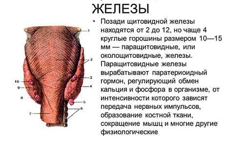 Функции паращитовидных желез заключаются в регуляции множества важных процессов в теле человека