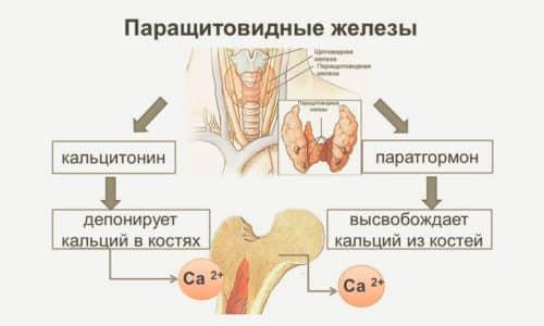 Кальцитонин - это гормон, который продуцируют специальные клетки щитовидной железы. Также он выделяется клетками при наличии злокачественной опухоли в щитовидке, молочной железе и легких