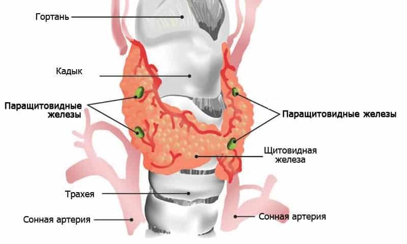 Паращитовидные железы — четыре небольших эндокринных железы, расположенные по задней поверхности щитовидной железы