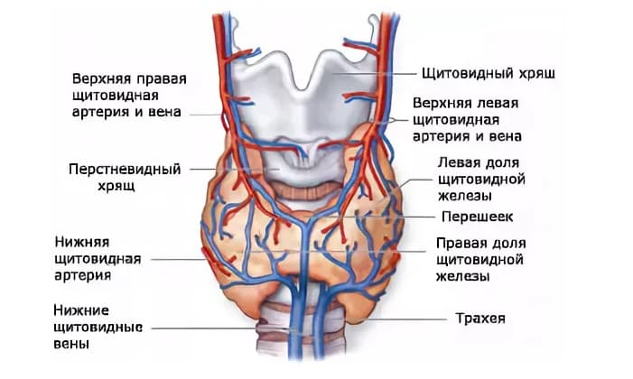 При обнаружении угрозы лимфоидная ткань щитовидки образует особые белковые соединения - антитела, способные реагировать на соответствующие антигены