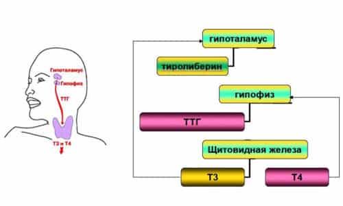 Трийодтиронин (Т3 свободный) представляет собой главный стимулятор всех жизненно важных процессов в организме человека