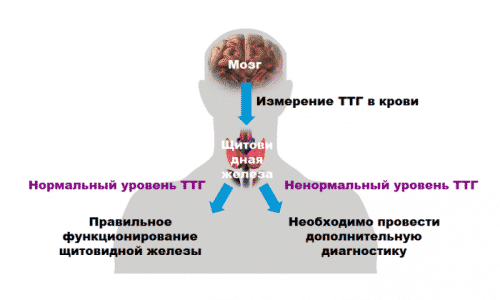 ТТГ оказывает влияние на синтез гормонов щитовидной железы: тироксина (Т3) и трийодтиронина (Т4)