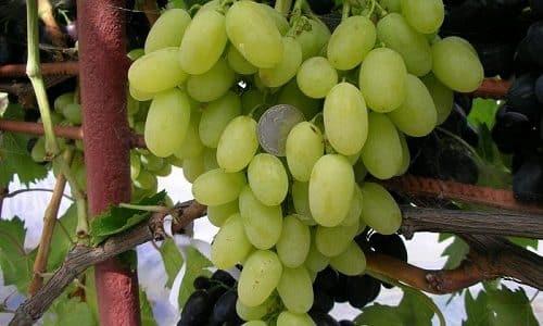 Перед проведением радиоактивной терапии из рациона обязательно исключают виноград