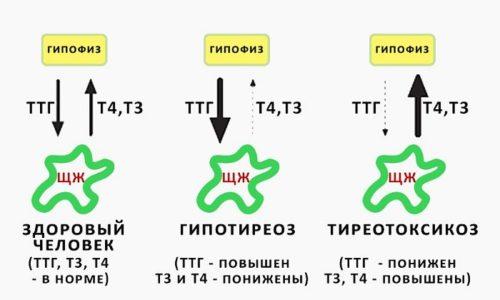 Нормальная концентрация в крови гормона тиреотропина является важным для нормального протекания беременности